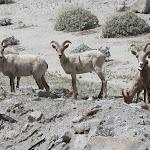 Peninsular Bighorn Sheep Anza Borrego