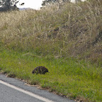 Echidna crossing the road