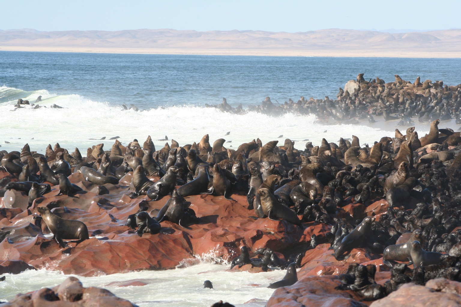 Cape cross seal colony