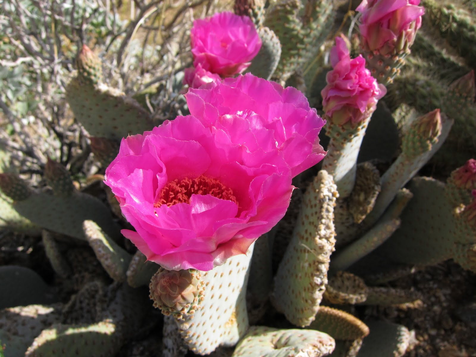 Another angle of the Beavertail Cactus Bloom