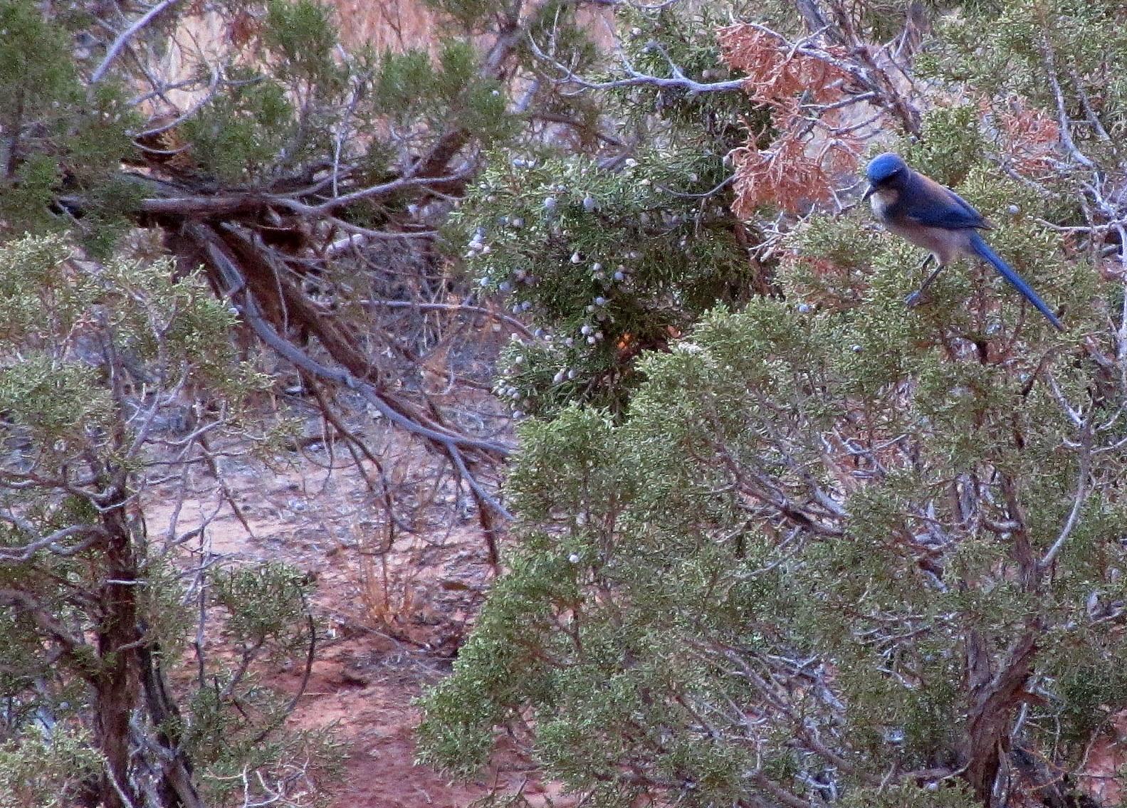 Blue Bird in Arches