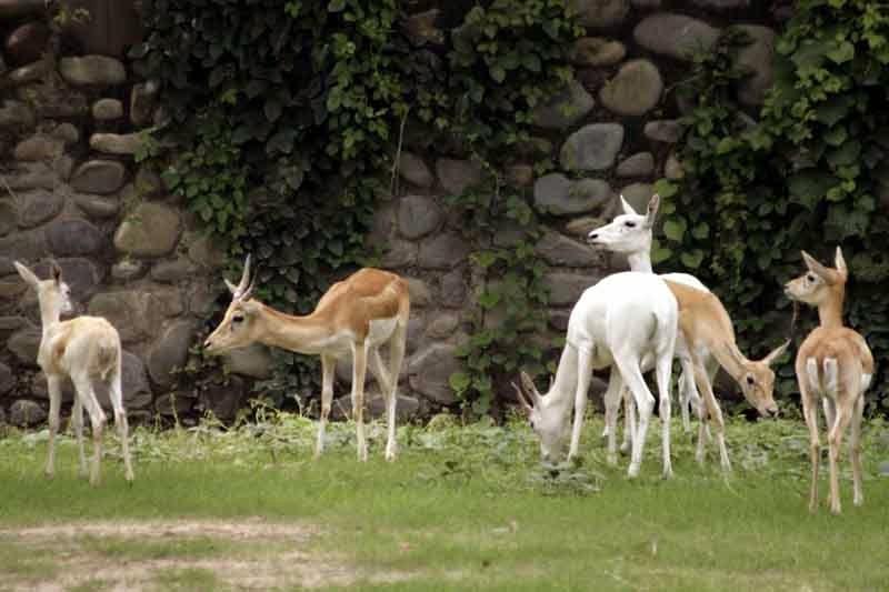 dears at Chattbir zoo Chandigarh