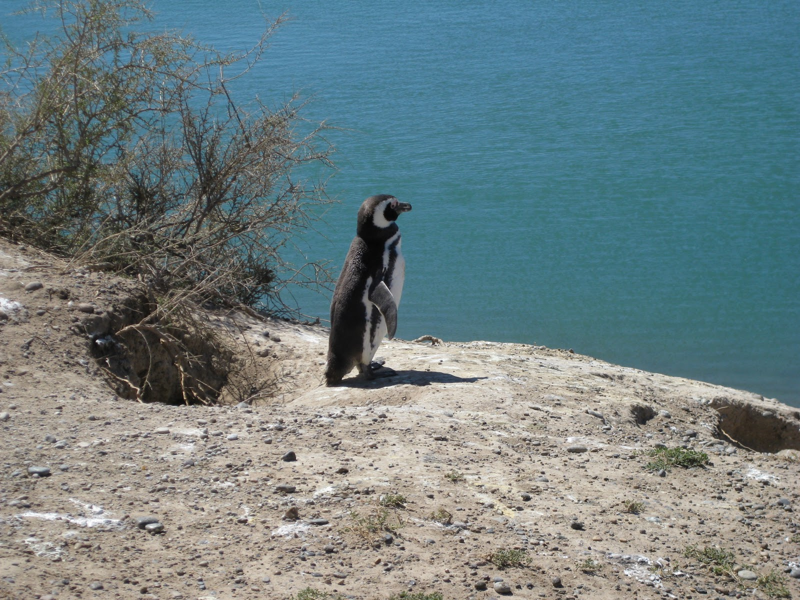 Magellanic penguin, only a couple of metres away