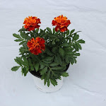 Tagetes brons