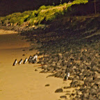 Penguins parading after dusk on Phillip Island, a view worth $54