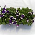 Petunia paars/wit