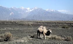 Dvogrbe kamile: one su poreklom iy Centralne Azije i koriscene su u karavanima koji su isli Putem svile. Bolje su od jednogrbih jer su izdrzljivije, mogu da skladiste mnogo vise vode i neosetljive su na temperaturne promene.