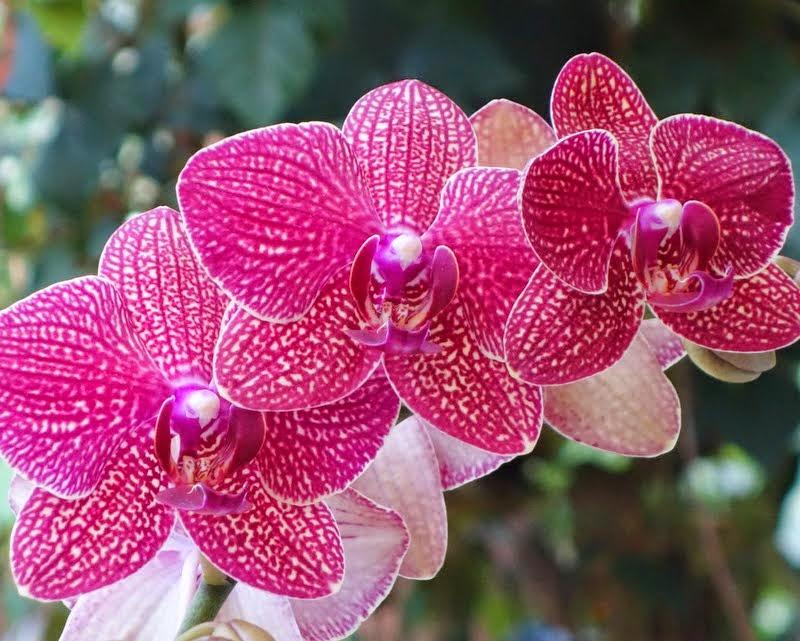 Ochids, California, May 2014. Photo by Ven. Roger Kunsang.
