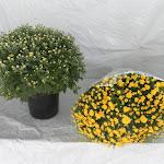Bolchrysant geel, stadium 1 en stadium 3