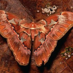 Mimikri ve Homokromi