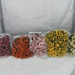 Bolchrysanten paars, rood, roze, geel en wit stadium 3