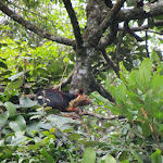 Malabar Giant Squirrel (Ratufa indica), Coonoor, India