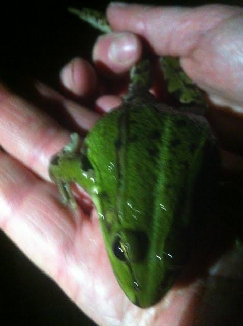 La grenouille verte dans la main