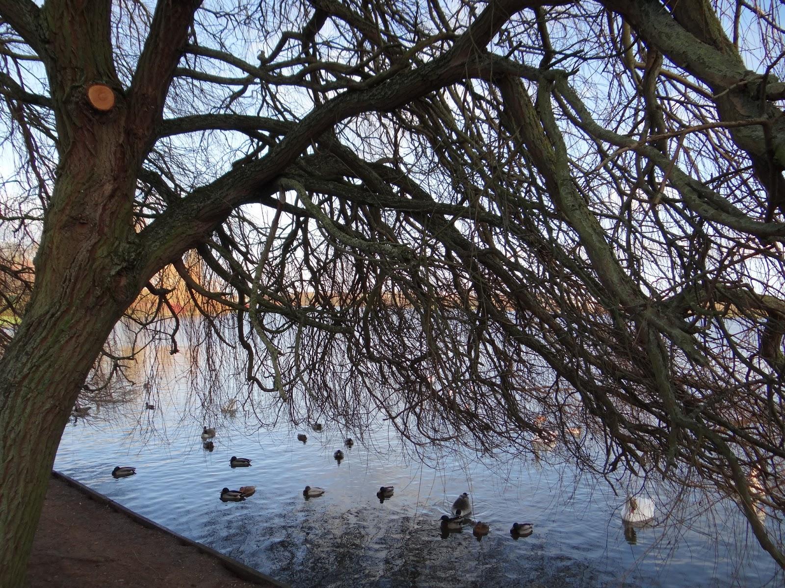 Overhanging Willow