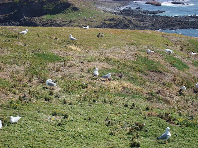 What I could see and hear was the thousands of nesting Seagulls