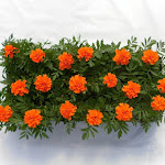 Tagetes oranje