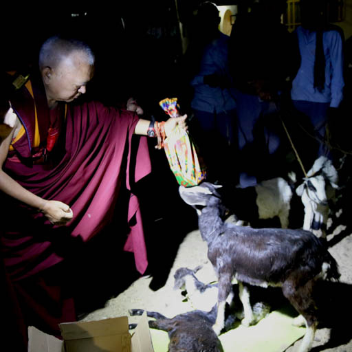 Lama Zopa Rinpoche blessing a goat at Root Institute, Bodhgaya, India, February 2015. Ven. Thubten Kunsang.