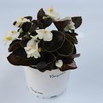 Begonia donkerbladig wit