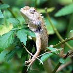Unidentified lizard, near Batu Feringgi, Penang