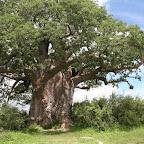 The Grand Baobab