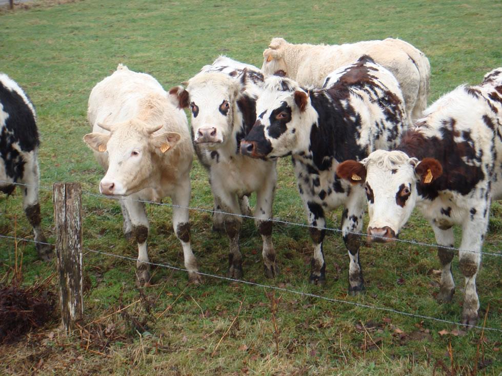 Les vaches voisines, toujours curieuses...