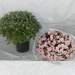 Bolchrysant roze, stadium 1 en stadium 3
