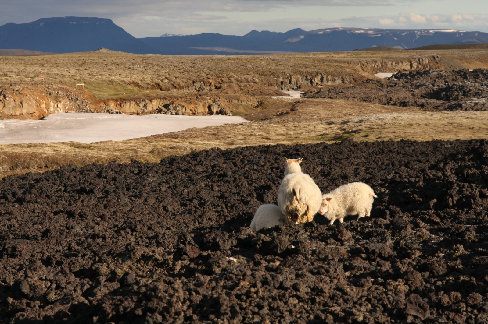 Local sheep has mutated to be able feed on lava rock and snow