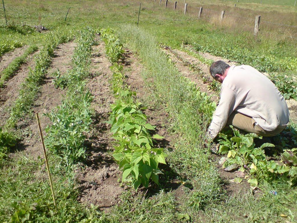Potager de 2009. Pas de traitement, grâines issues de l'agriculture biologique.