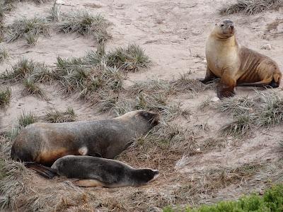Seal Bay - Australian fur seals