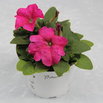 Petunia roze