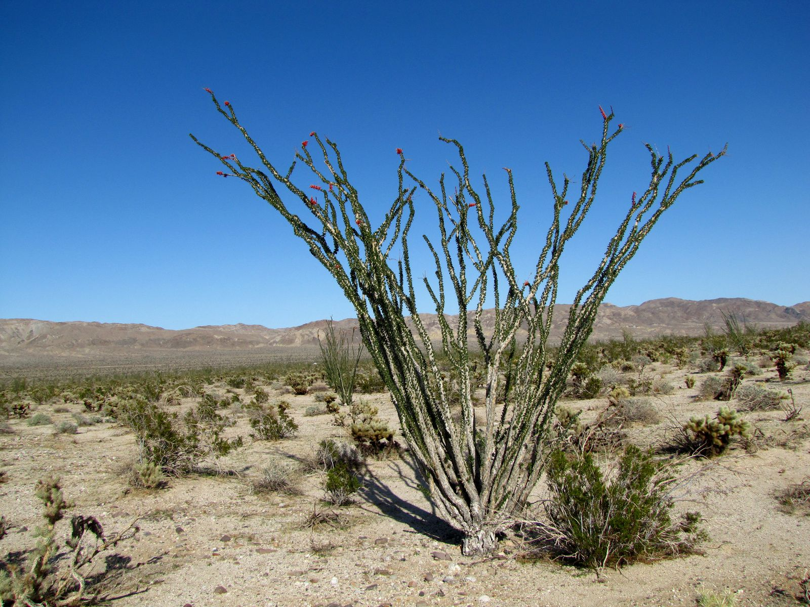 Ocotillo with green leaves and orange blossoms.
