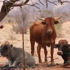 Desert cattle
