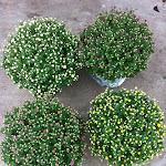 Bolchrysanten wit, paars, roze en geel