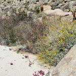 Brittle Bush (yellow) Chuparosa (red)