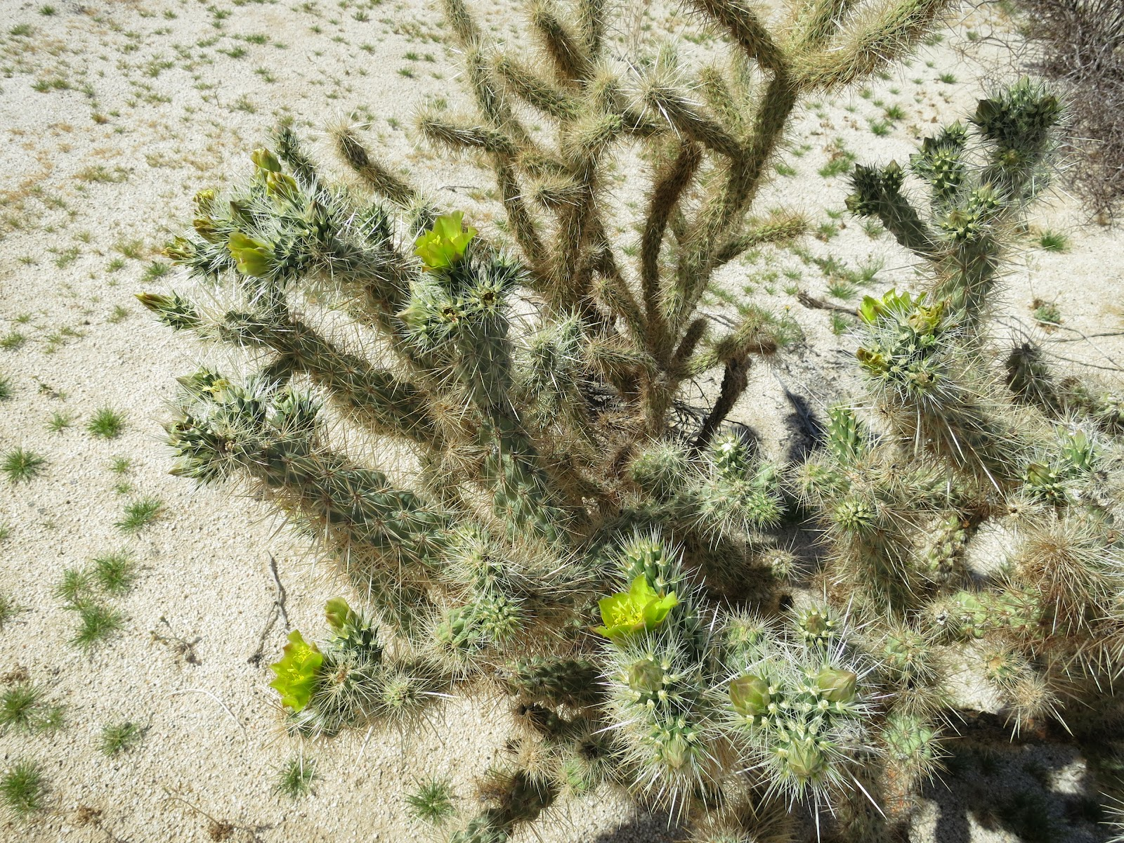 I believe this is called Silver Cholla or possibly Gander's Cholla. Nonetheless it was flowering nicely.