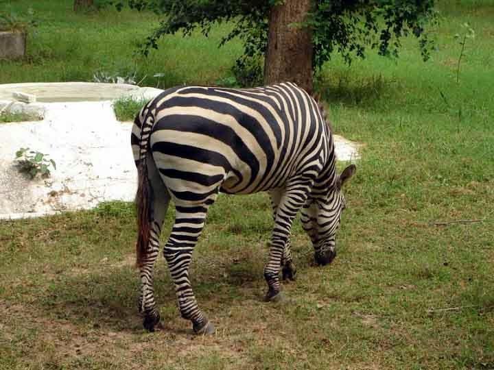Zebra at Chattbir zoo Chandigarh