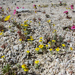 Small patch of Wallace's Wooly Daisies