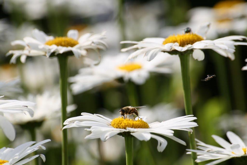 Les abeilles butinent