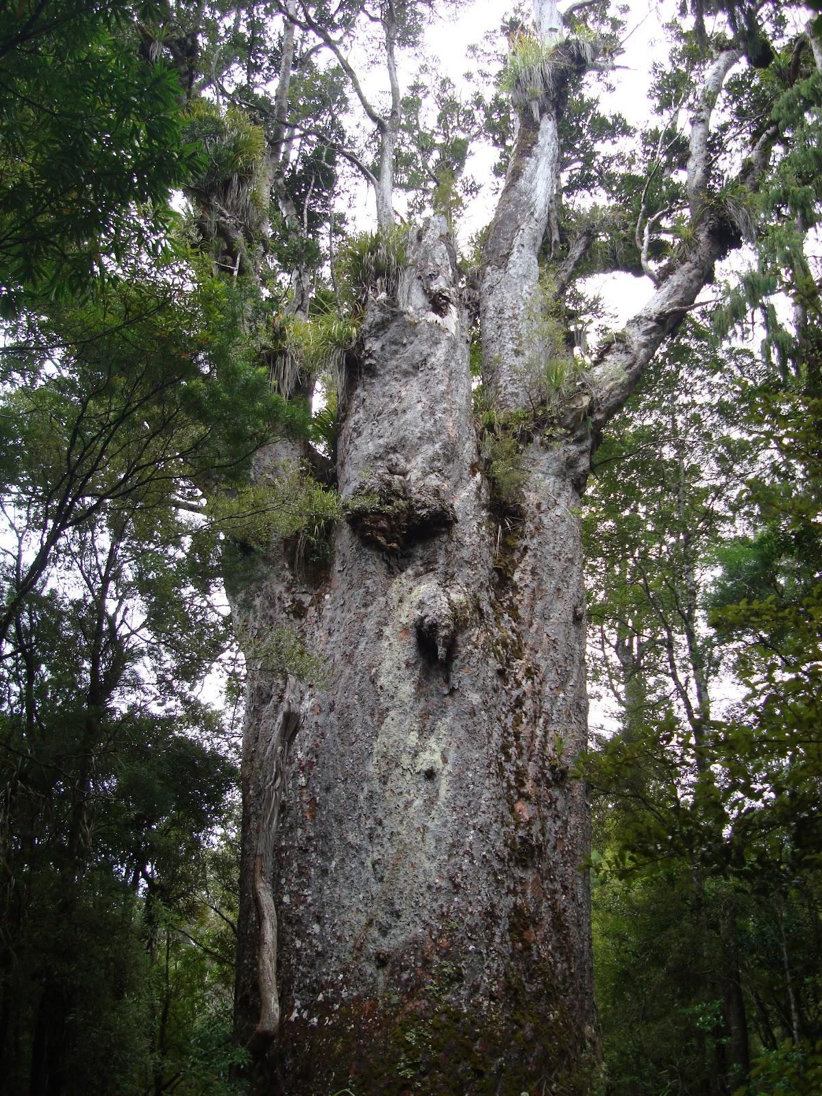 The second biggest Kauri - Te Matua Ngahere