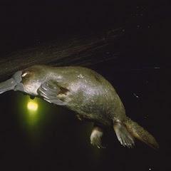 Diving platypus --- Image...