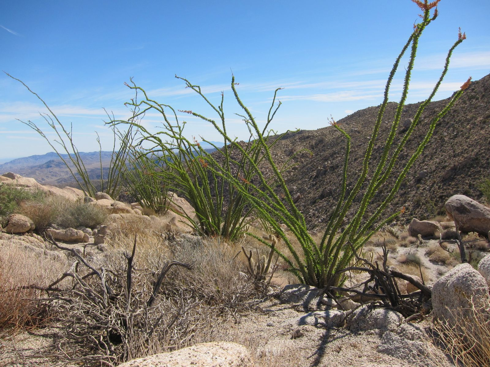 Line of healthy Ocotillo high up on the ridge.