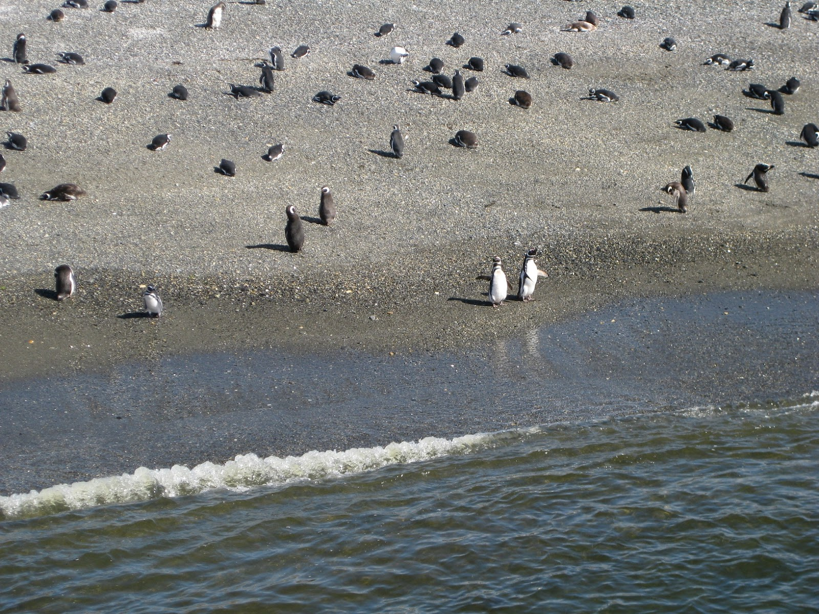 Mostly Magellanic penguins
