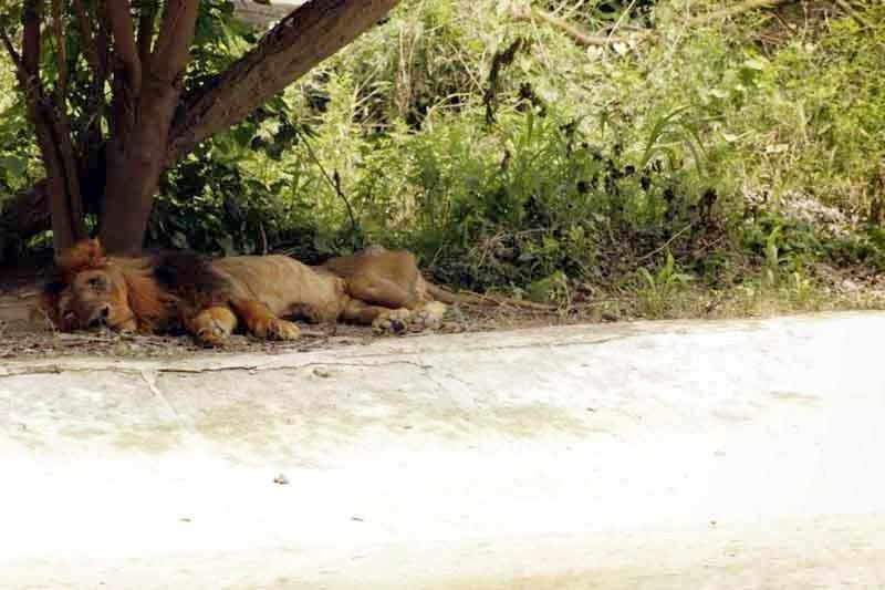 lion at Chattbir zoo Chandigarh