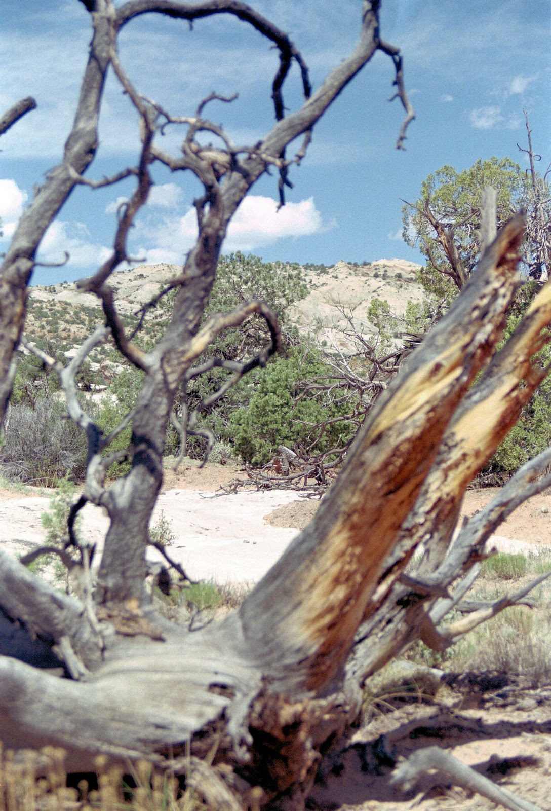 Capitol Reef Tree
