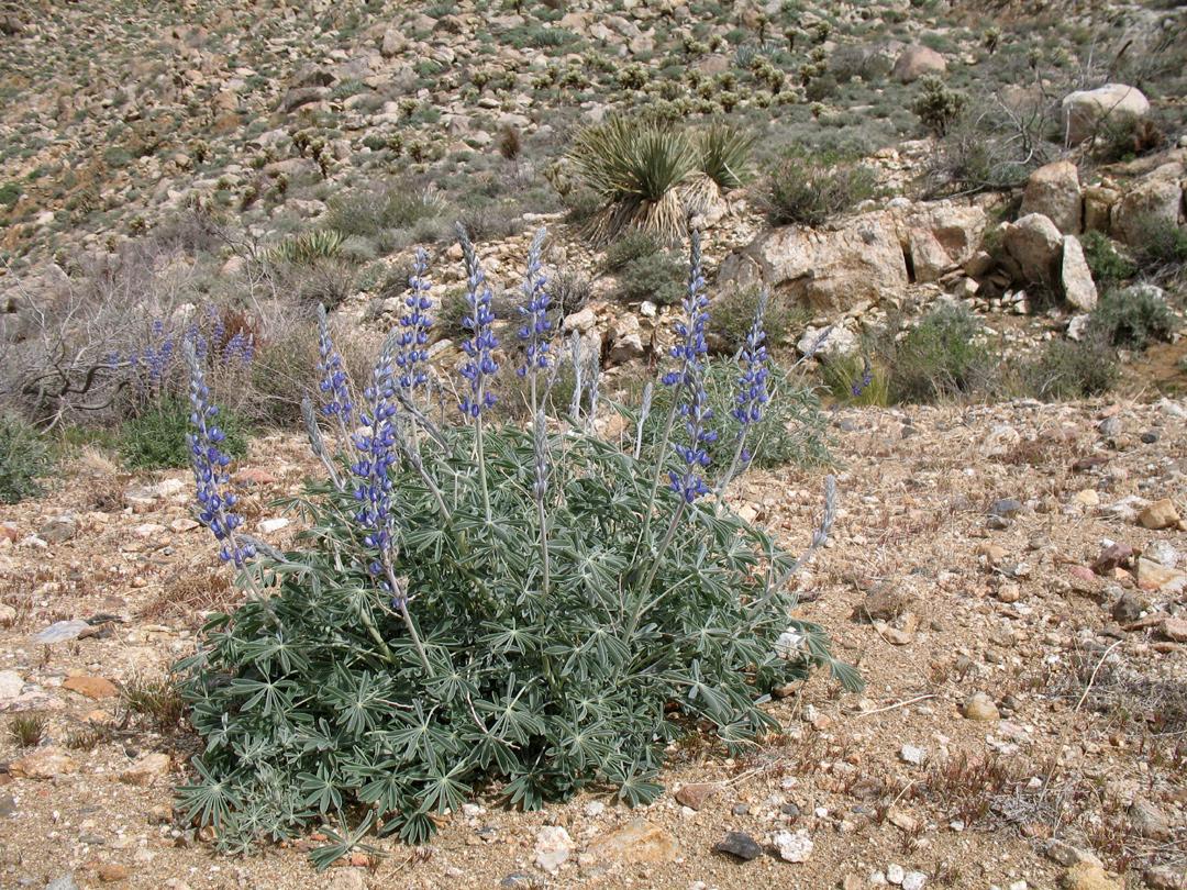 Desert Lupine with brilliant purple flowers.