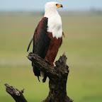 A proud eagle