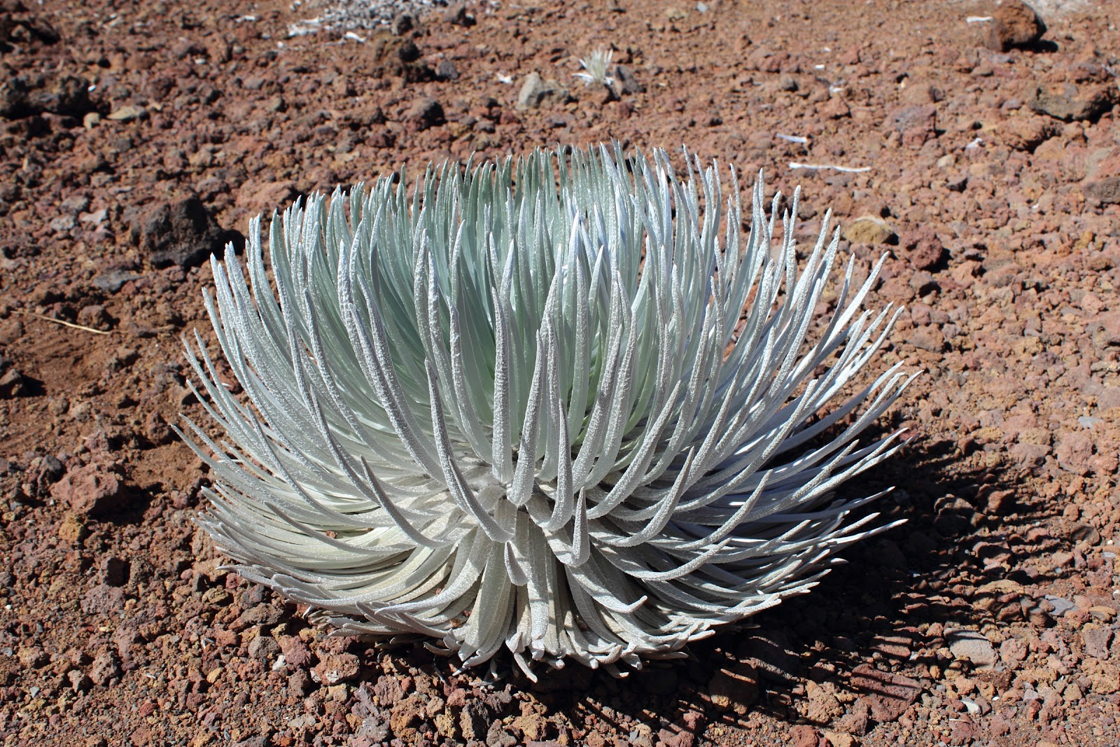Haleakalā Silversword: a rare plant only found on Haleakala