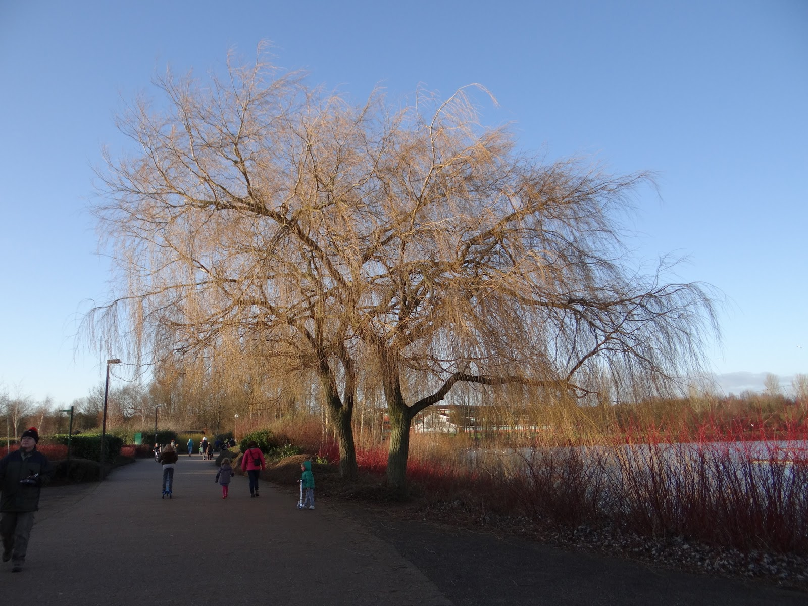 ig Weeping Willow