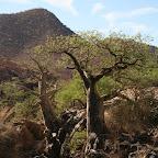 Baobab trees in Angola
