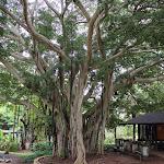 Banyan Tree in Kepaniwai Park